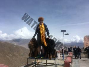 Miles with Tibetan Mountain Dogs